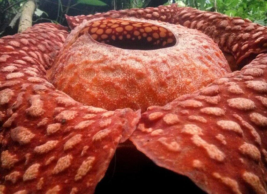 بزرگترین گل دنیا در اندونزی پیدا شد