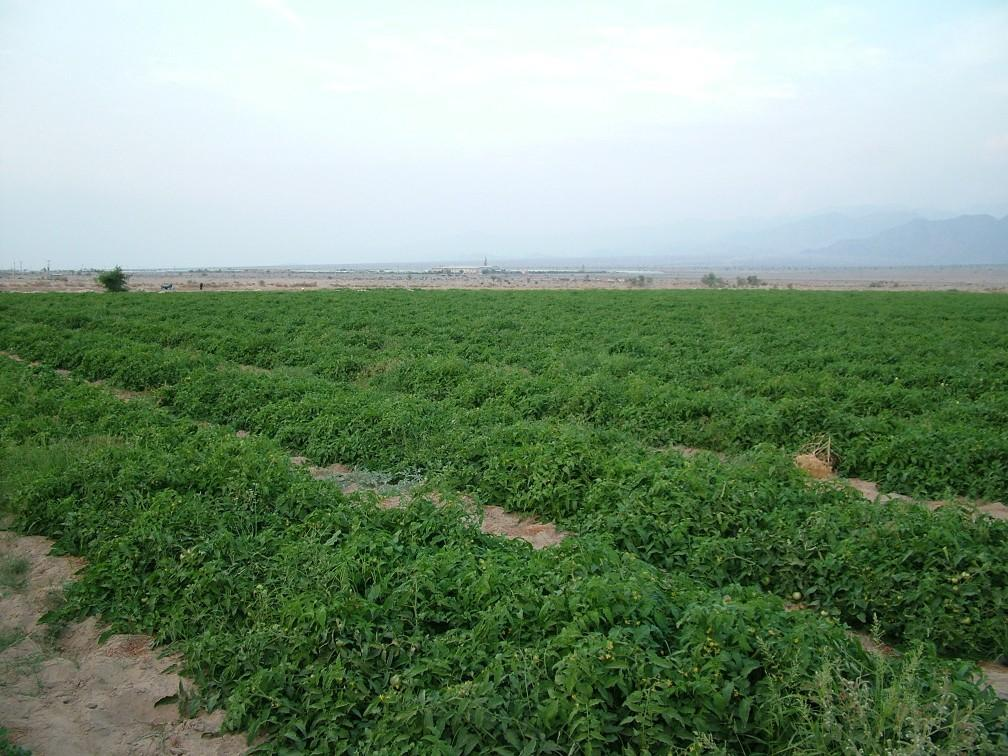 کشت 12 هزار هکتار گوجه فرنگی در جنوب کرمان