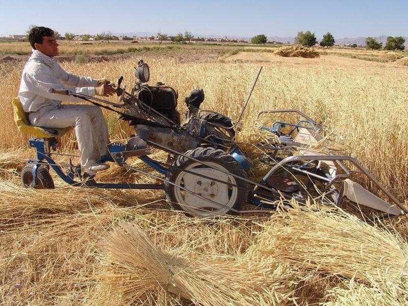 خبرنگاران تولید گندم در ابرکوه به پنج تن در هکتار رسید