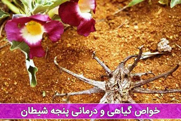 خواص گیاه پنجه شیطان چیست و مصرف آن چه مضراتی دارد؟