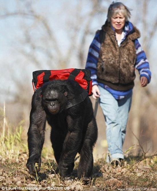 این شامپانزه برای خود آشپزی میکند! ، عکس